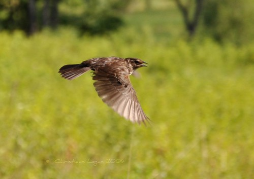 eye sunshine female wings action bokeh tail flight beak feathers meadow panning redwingedblackbird agelaiusphoeniceus nikond90 photocontesttnc09