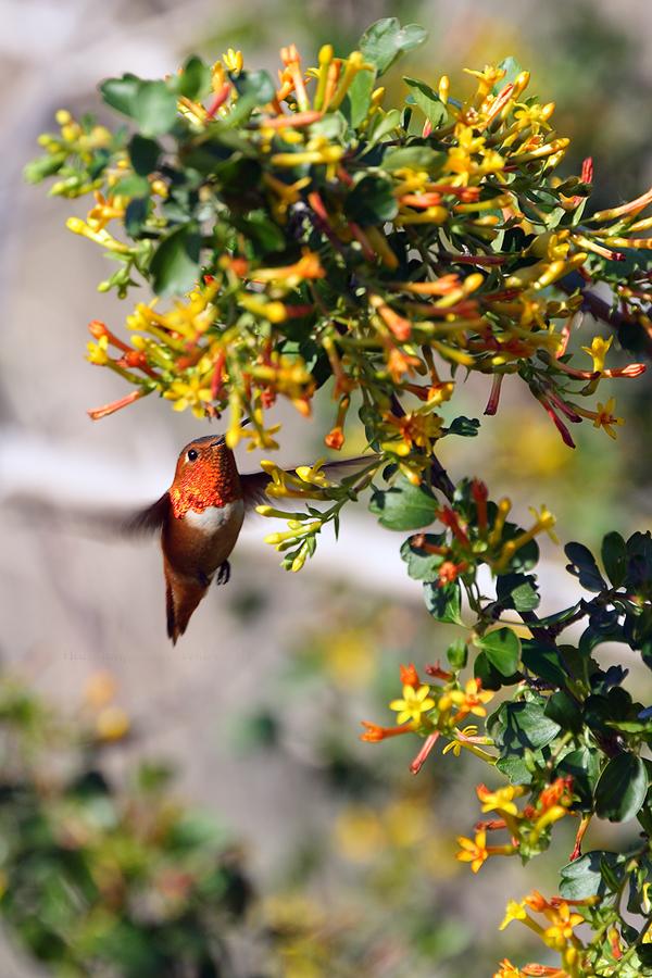 Allen's Hummingbird081-12