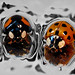 Harmonia axyridis & Adalia bipunctata by AfricanViolet.co.uk