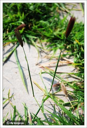 内蒙古植物照片-虎尾草,禾本科虎尾草属