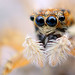 Araña saltarina - Menemerus Semilimbatus by Tome Rodrigo
