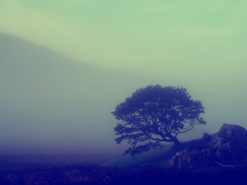 Oak tree in the morning mist