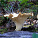 White Chanterelle - Photo (c) furtwangl, some rights reserved (CC BY-NC)
