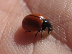 arthropod, animal, ladybird, invertebrate, insect, macro photography, fauna, close-up, beetle, pest,