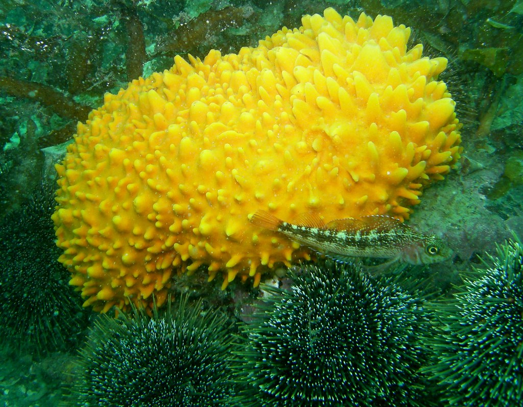 Sponge and Triple-fin fish | This is the real colour ...