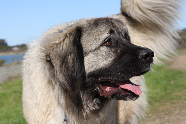 Caucasian Mountain dog, Caucasian Ovcharka, Shepherd dog, Sheepdog