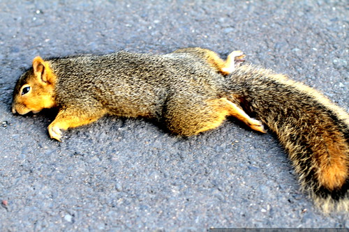 roadkill squirrel