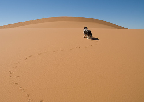 dog pet pets sahara animal animals geotagged sand desert morocco maroc beast a3 doggy creatures creature doggie beasts zoology domesticatedanimals companionanimals nederlandseschapendoes geo:lat=31090519 geo:lon=3998219