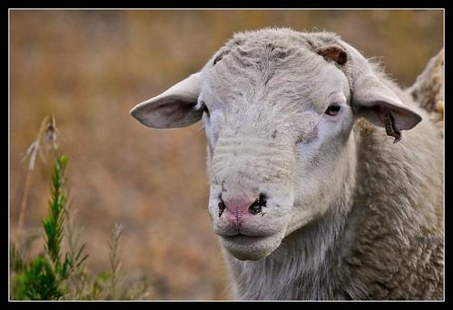 Ewe, Mudgee