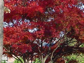 maple-rojo