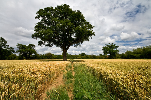 uk greatbritain england tree field landscape oak britain path wheat wideangle surrey gb cobham agriculture oaktree downside wheatfield sigma1020mm project365 walkroute 197365 surreycountycouncil t189project365 t189scavengerhunt t18908229 16thjuly2009 5milecircularwalk