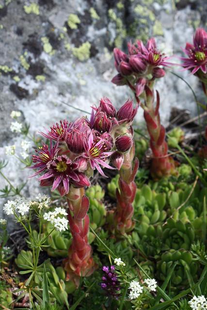 joubarbe des montagnes sempervivum montanum flickr photo sharing. Black Bedroom Furniture Sets. Home Design Ideas