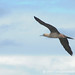 Red Footed Booby in Flight - Galapagos Islands