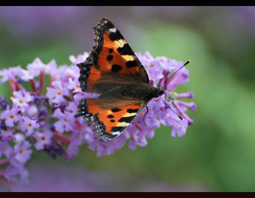 small tortoiseshell on buddleia