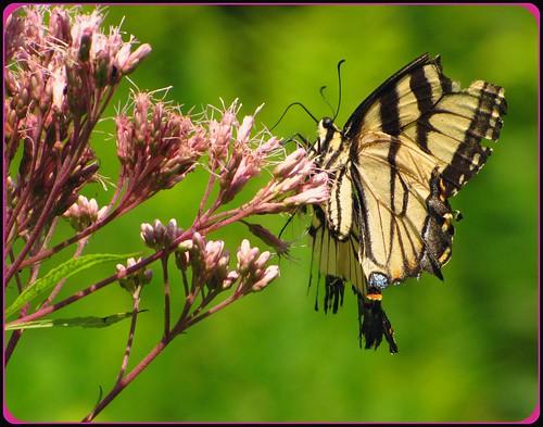 ontario canada swallowtailbutterfly londonontario