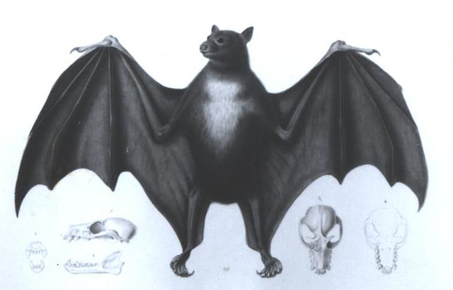 mariana fruit bat essay The little mariana fruit bat has always been considered rare and the last confirmed sighting of this bat was made in 1968 thus, it appears that the little mariana fruit bat may now be.