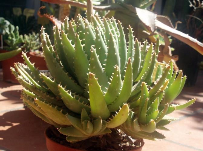 Aloe brevifolia 4007896330_2d2254f7fe_o