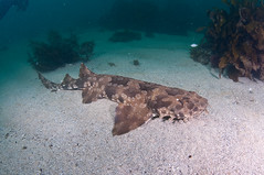 Tiburón wobbegong