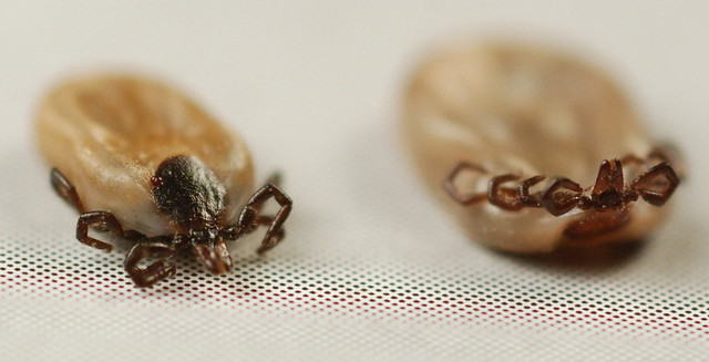 Dog tick vs deer tick engorged - photo#20