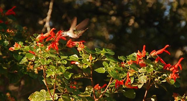 Salvia regla and hummer