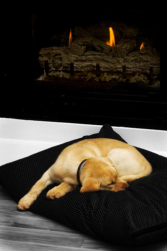 morning sleeping dog fire goldenlab baxter selectivecolor christma sleepingdog selectivecoloring sleepingpuppy ghholt