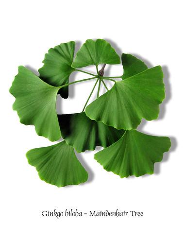 Ginkgoaceae - Ginkgo tree family