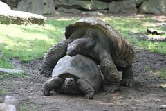 animal, zoo, reptile, fauna, wildlife, tortoise,