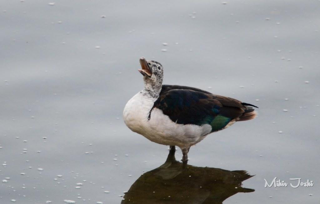 Knob-billed Duck [Pato Crestudo Africano]