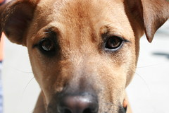 dog breed, nose, animal, dog, snout, mammal, close-up, black mouth cur, terrier, organ,