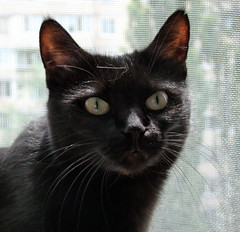 animal, small to medium-sized cats, pet, mammal, black cat, bombay, cat, whiskers, manx, domestic short-haired cat,