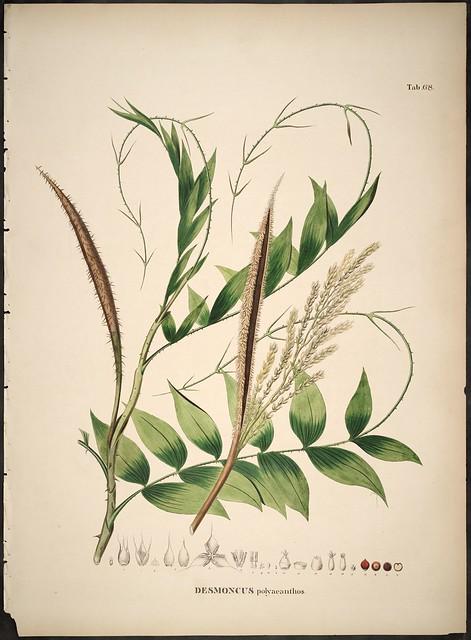 Desmoncus polyacanthos