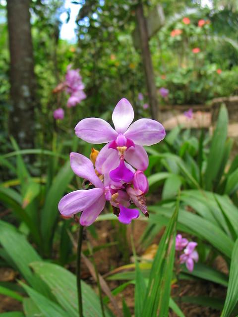 Spathoglottis plicata (Orchid)
