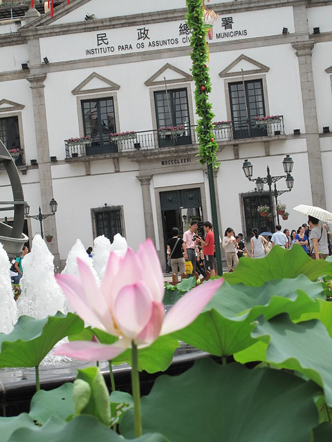 Lotus flowers in front of Municipal office of Macao (focus on people afar checking their photos)