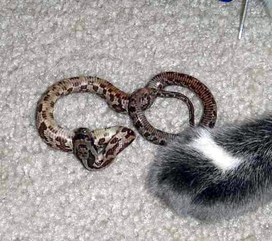 Juvenile Texas Rat Snake