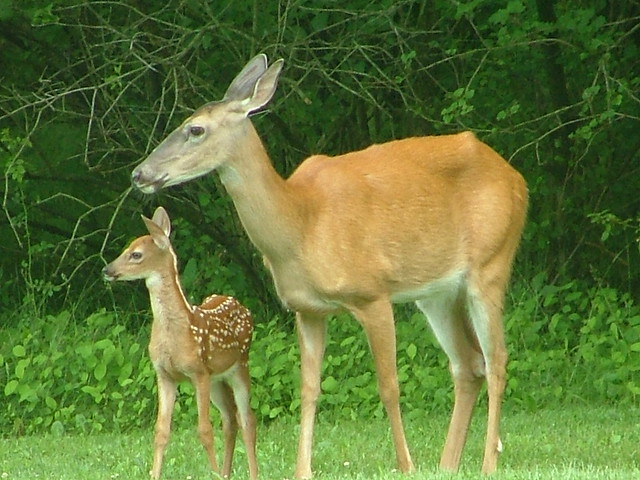 Mom and baby deer | Our outdoor family | By: GTOgal1 ...