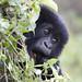 Mountain Gorilla, Rwanda.