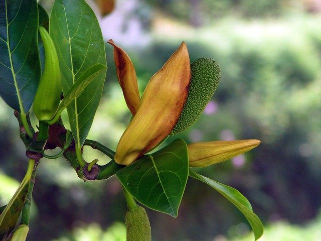 jackfruit flower flickr photo sharing