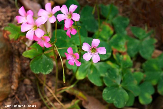 Oxalis corymbosa - Pink Oxalis, Pink Shamrock, Lilac Oxalis, Lavender Sorrel