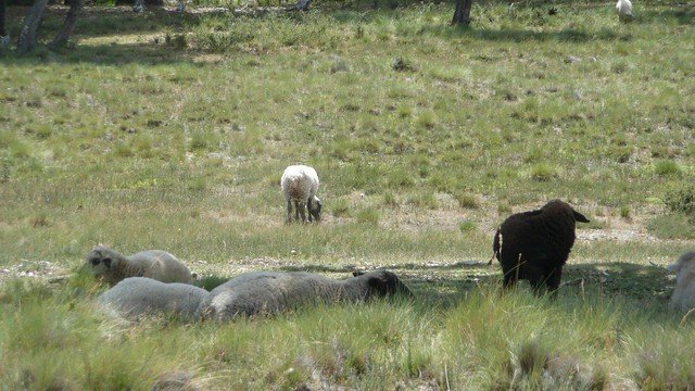Header of A Black Sheep
