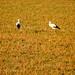 Cigüeñas en el campo