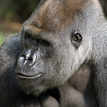 National Zoo's gorilla