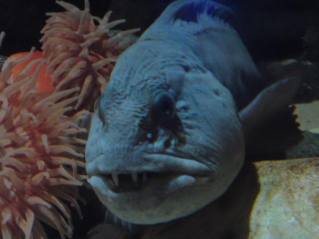 Wolf Fish