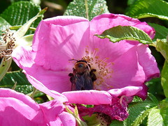 Wild rose with bumble bee