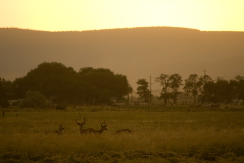 sunset field wildlife deer