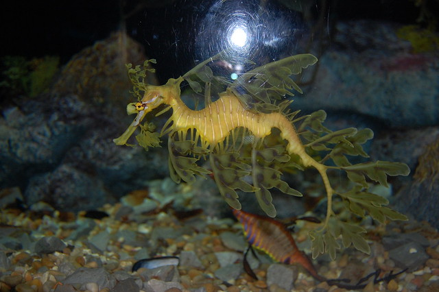 Weird fish a leafy seadragon makes good use of for Weird freshwater fish