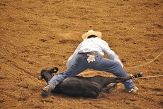 animal sports, rodeo, cattle-like mammal, soil, event, tradition, sports, bullfighting,