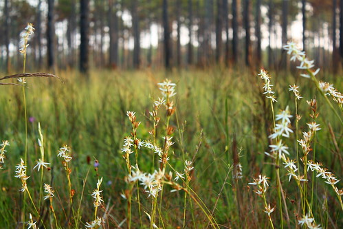 fauna flora easternnorthcarolina undisclosedlocation pinesavanna