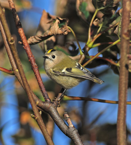 goldcrest in leaves 4