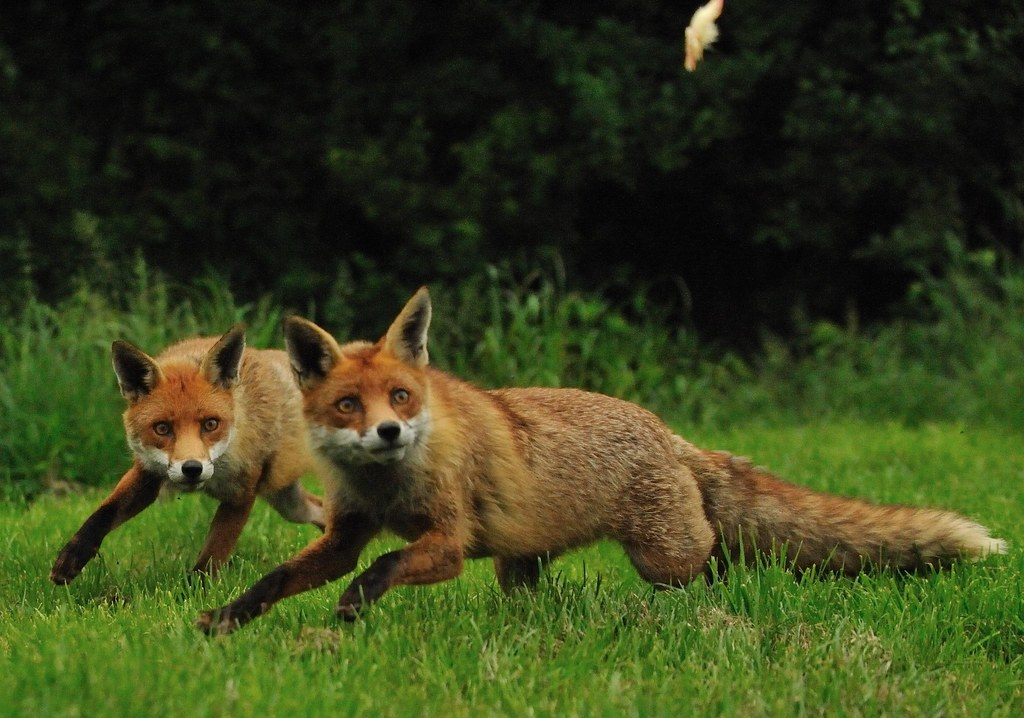 Foxes Running