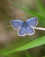 Eastern Tailed Blue - Male